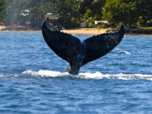 Balena observata in aproprierea insulei Sainte-Marie