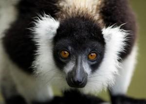 Lemurian Indri